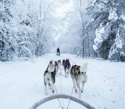 A husky dog-sledding through a beutiful winter forest