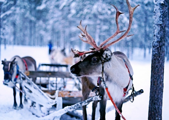 A harnessed reindeer in Finland