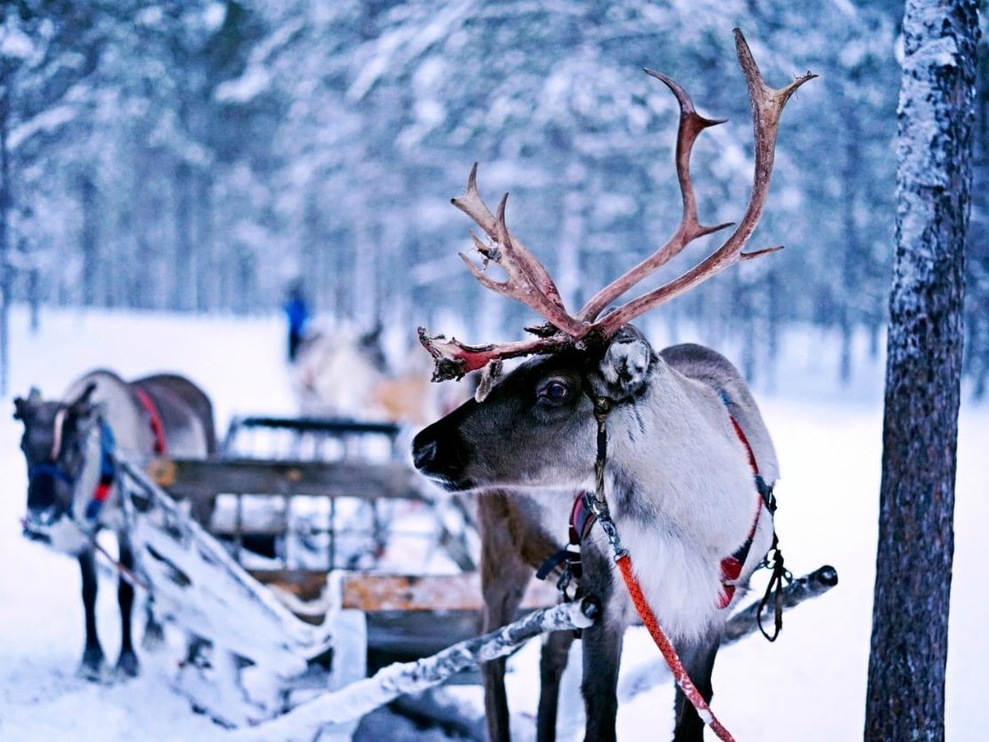 Reindeer Sledding in Lapland